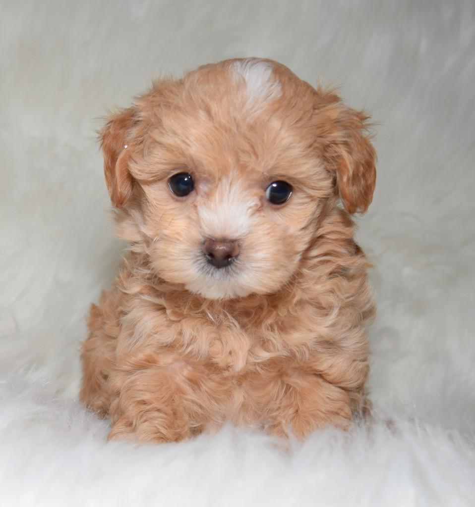 maltipoo-puppy-for-sale