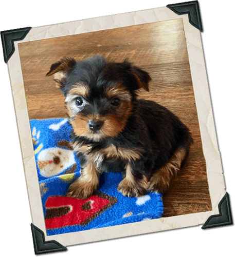Emily's Pups | Maltese, Yorkie, Toy Poodle, Maltipoo, Shih